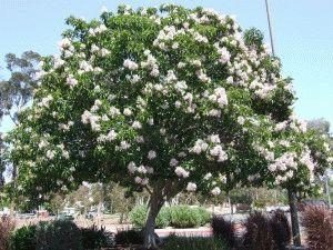 Цветение каштанового дерева