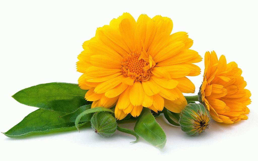 Цветки календула