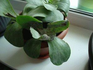 Каланхоэ – лечебное растение