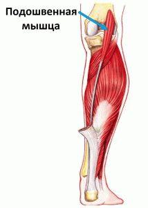 Важная мышца ноги
