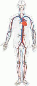 Кровоток в организме