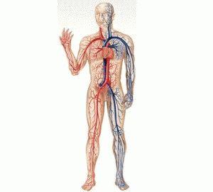 Кровообращение у человека