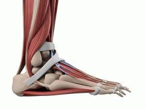 Мышцы стоп