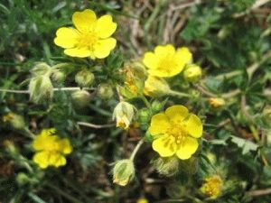 Растение сабельник