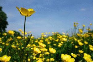 Цветы лютика
