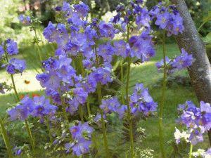 Растение синюха