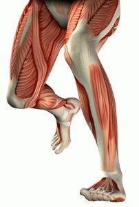 Анатомия мышц ног